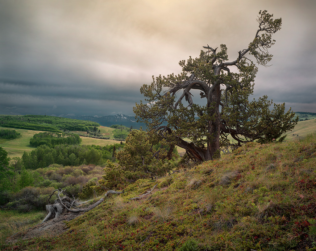 Stunted Tree, Lawson Ranch